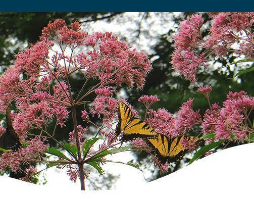 Iowa fall perennial flowers with butterfly