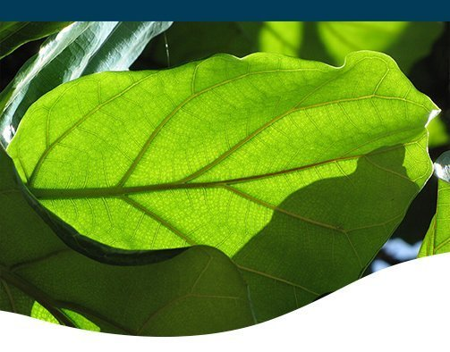 close-up image of fiddle leaf