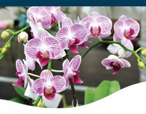 Orchid Care and Reblooming
