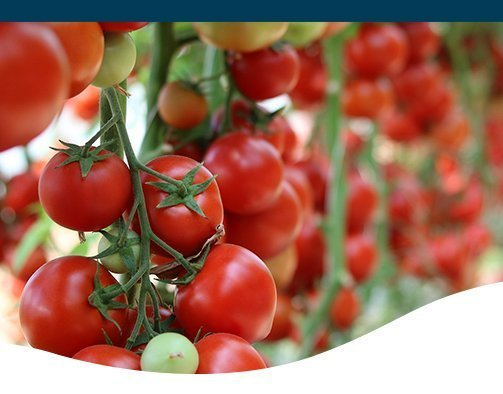 ten tips for growing great tomatoes