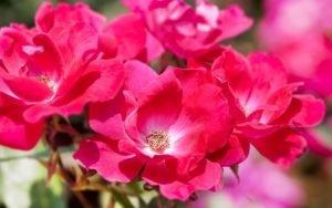 rose knockout