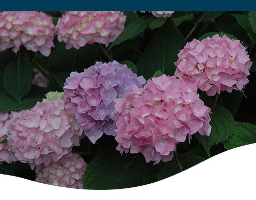 How To Keep Hydrangeas Blooming All Summer Archives Ted Lare Design Build