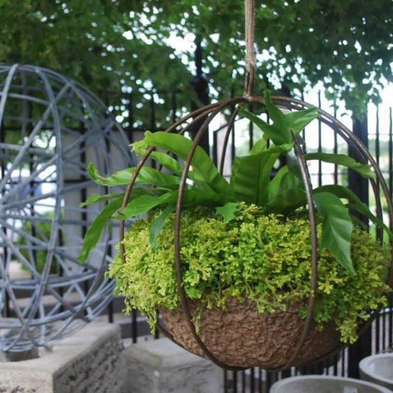 Hanging Wire Orb Fern Planter 6/5/21 1pm