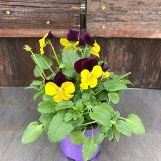 "Viola 4.5 "" Johnny Jump Up"