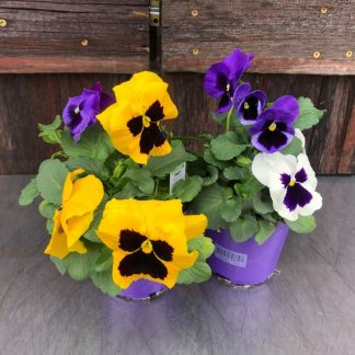 Pansy Giant Mejestic Mix 4.5""