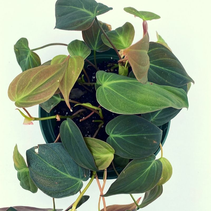 Philodendron Micans Ted Lare Design Build Philodendron micans have curling leaves that unfurl as they grow into a myriad of colors depending on the amount of natural light they have. philodendron micans ted lare design