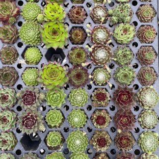 Succulent Plugs