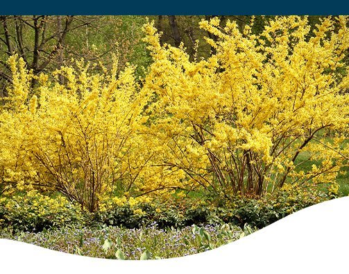 Forsythia A Cloud Of Yellow Spring Delight Ted Lare Design
