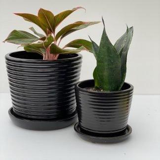 Ringlet Pettis Pot