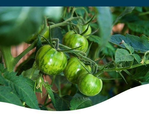 unripe tomato ted lare design & build