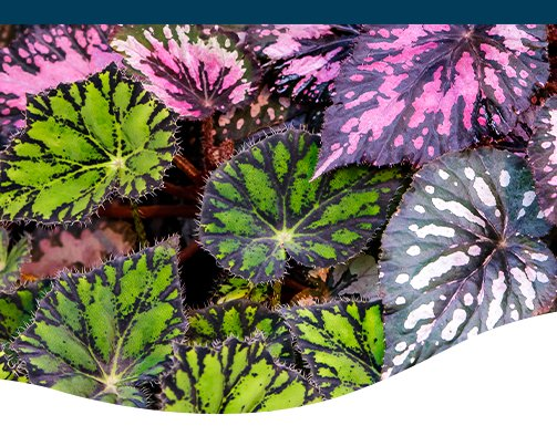begonia leaves-ted-lare