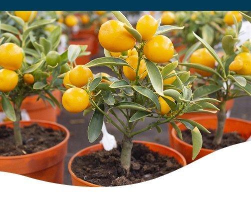 mini lemon tree ted lare design & build