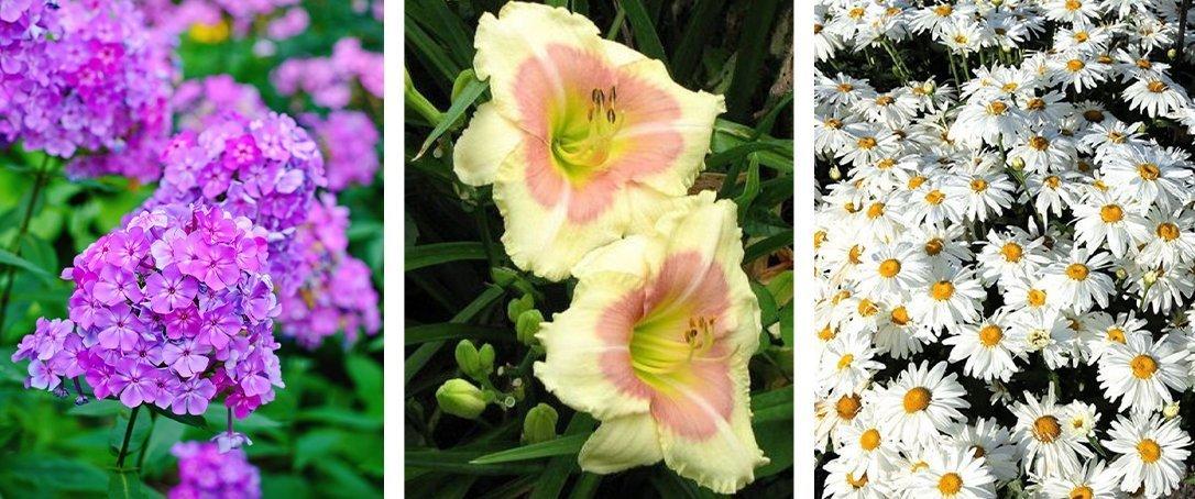 garden phlox, daylily, shasta daisy ted lare