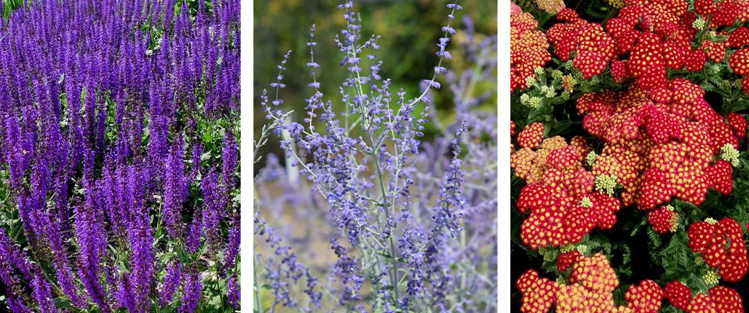 perennial salvia, russian sage, yarrow ted lare