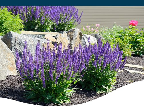 perennial salvia-ted lare
