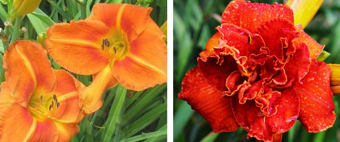 tuscawilla tigress and Moses fire daylily ted lare
