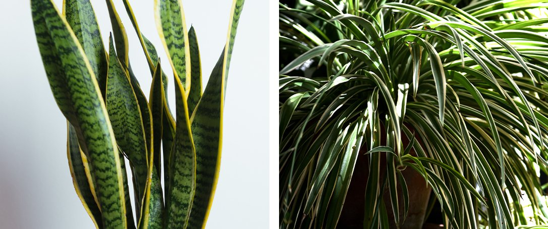 snake plant and spider plant ted lare