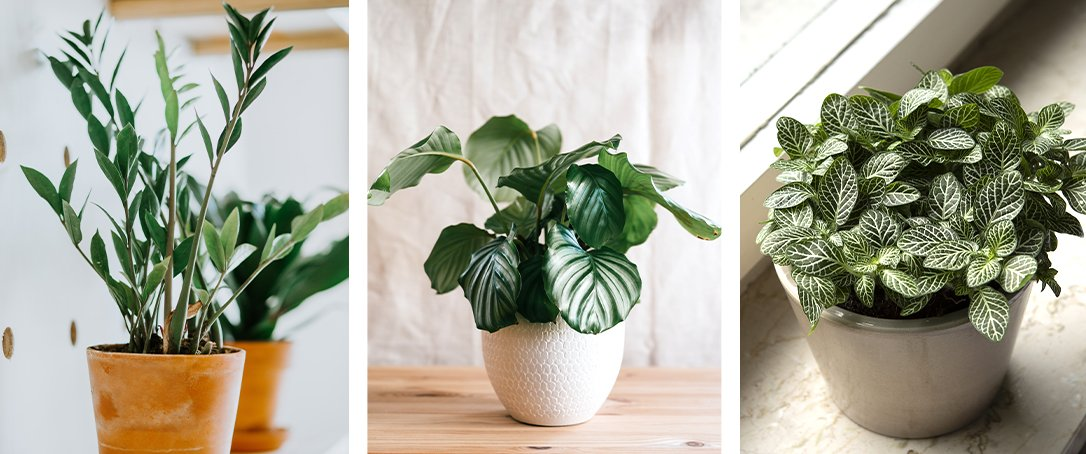 zz plant, calathea, and nerve plant ted lare