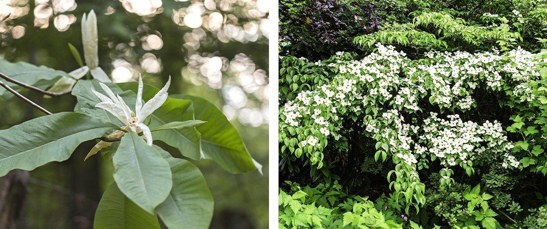 umbrella magnolia and Sousa flowering dogwood ted lare