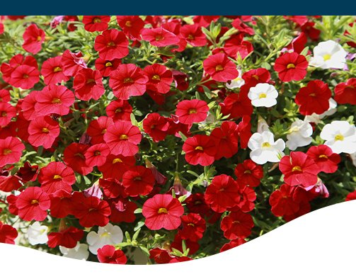 red and white petunia Greenstreet Gardens