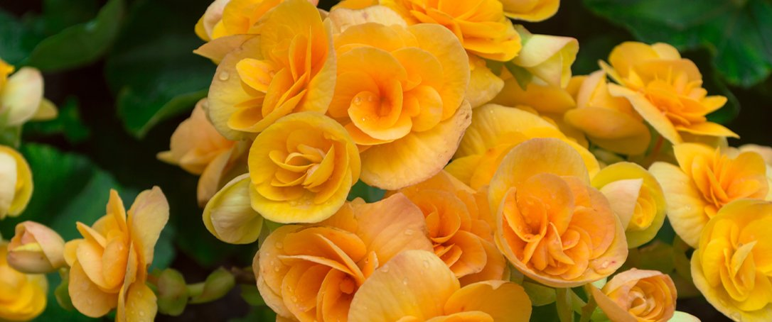 yellow begonia Ted Lare