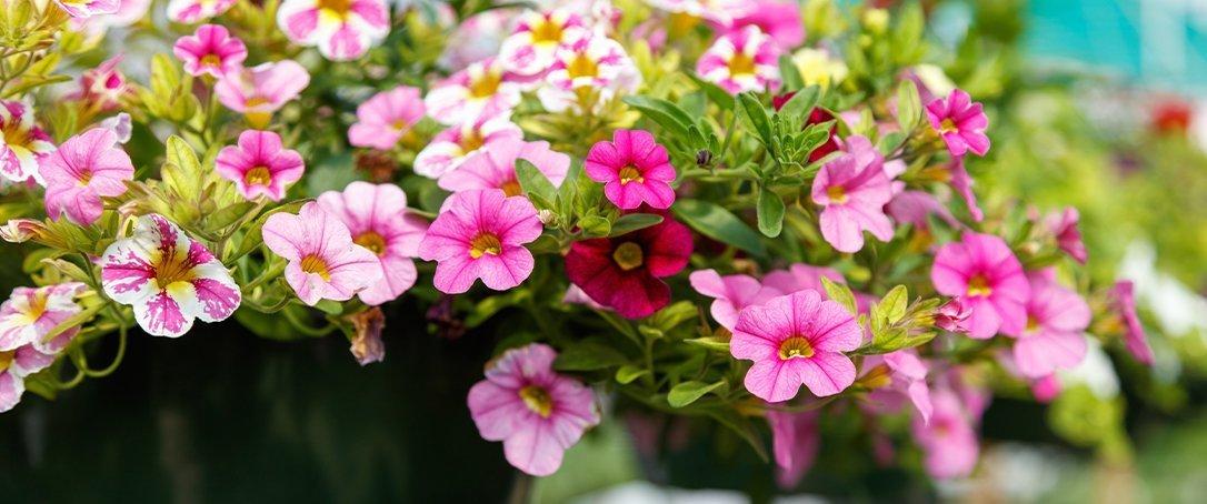 pink hanging basket Greenstreet Gardens
