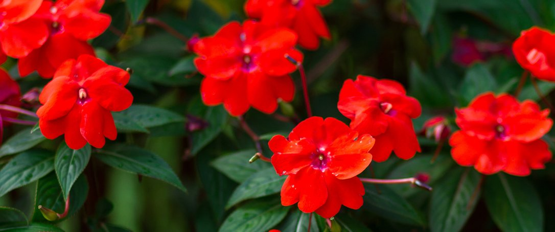 red impatiens Ted Lare