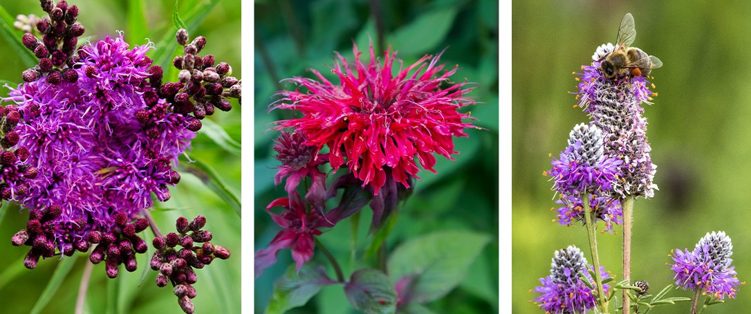 Ironweed, Beebalm, Purple Prairie Clover Ted Lare