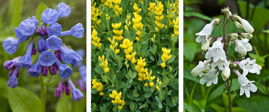 Virginia Blue Bells, Baptisia, and Penstemon Ted Lare