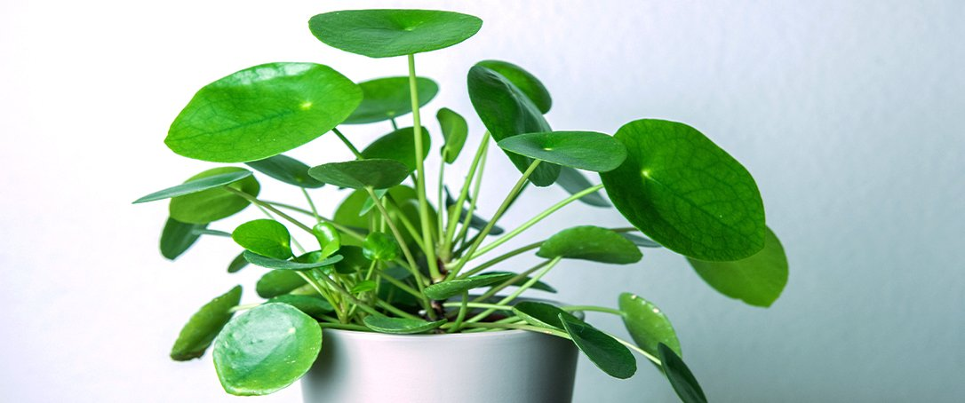 Pilea Peperomiodes Ted Lare