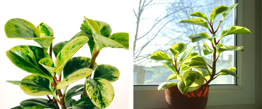 Variegated Peperomia Ted Lare