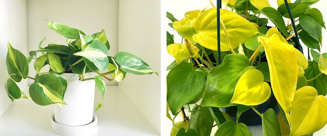 Philodendron Brasil and Philodendron Lemon Ted Lare