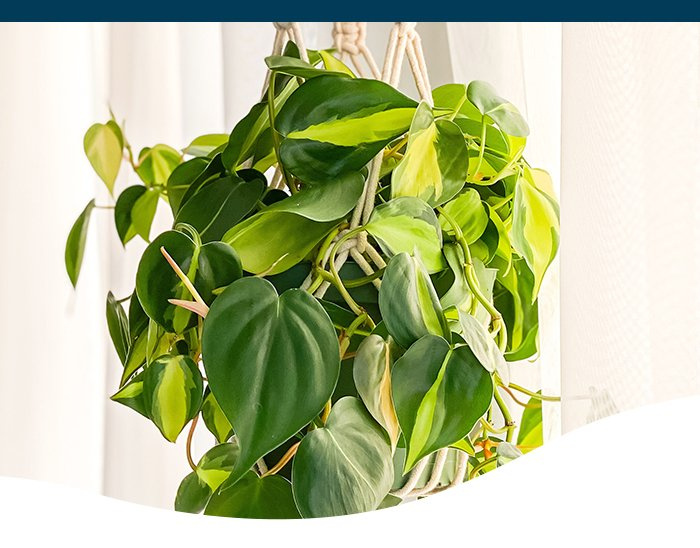 Philodendron Brasil in hanging macrame Ted Lare