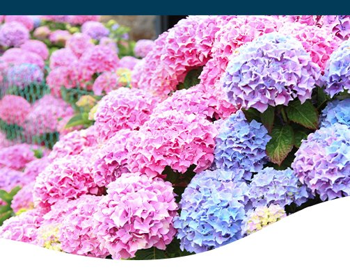 pink, blue, and purple hydrangeas Ted Lare