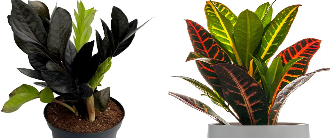Raven ZZ Croton fall foliage houseplants Ted Lare