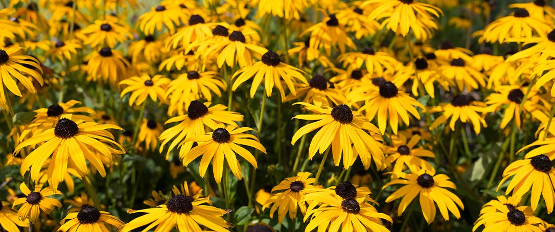 Black-eyed Susans Ted Lare
