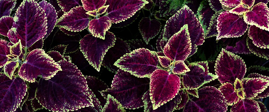 Coleus for fall landscape at Ted Lare