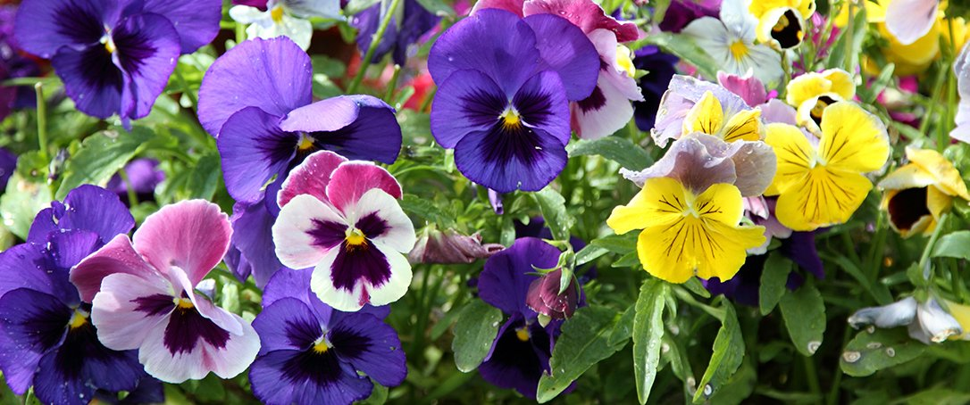 Pansies in fall container at Ted Lare