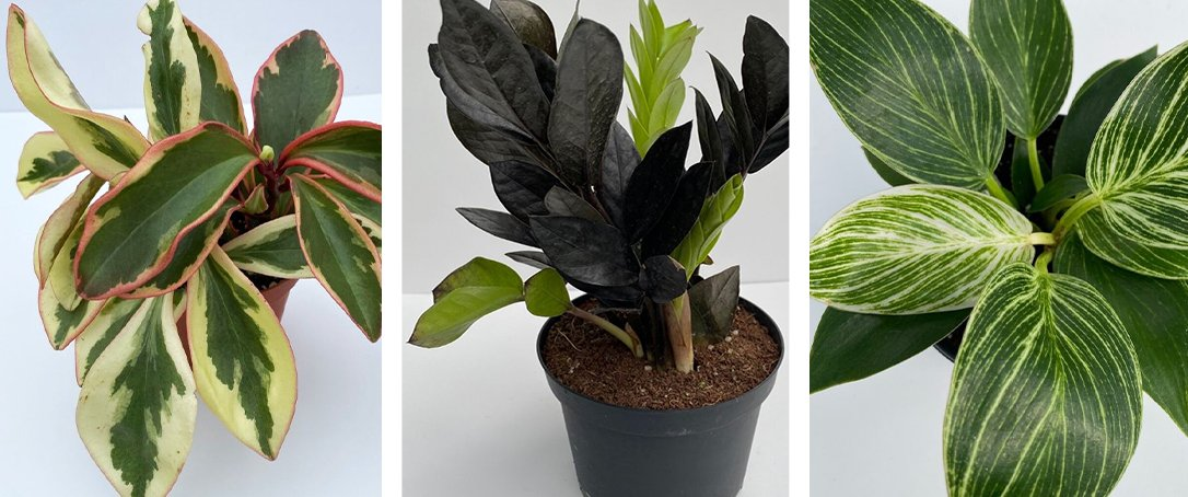 Peperomia, ZZ Plant, Philodendron for the home from Ted Lare