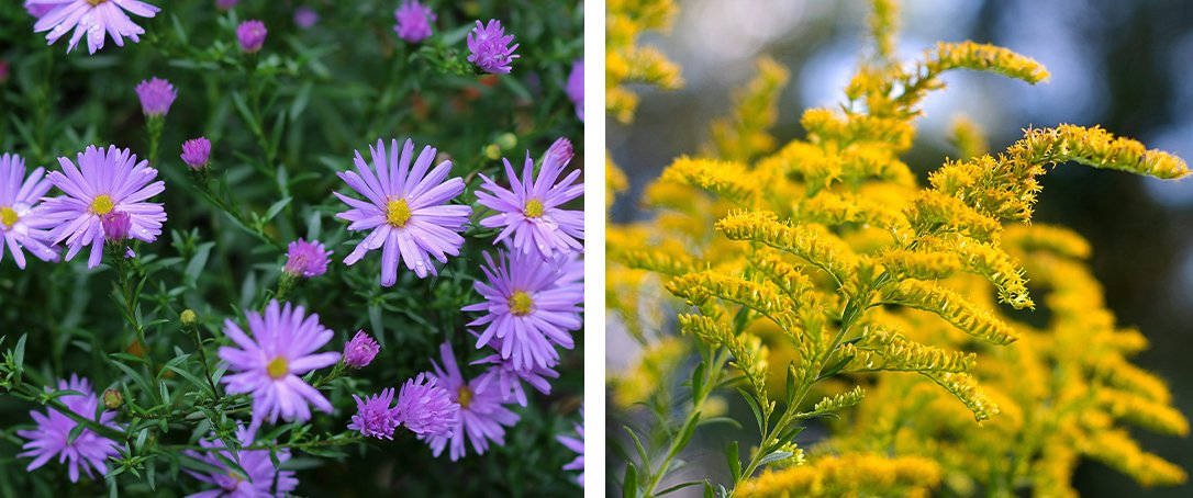 Perennials fall color at Ted Lare aster goldenrod
