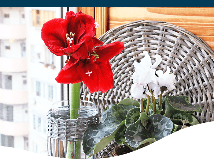 amaryllis and cyclamen flowers ted lare design & build