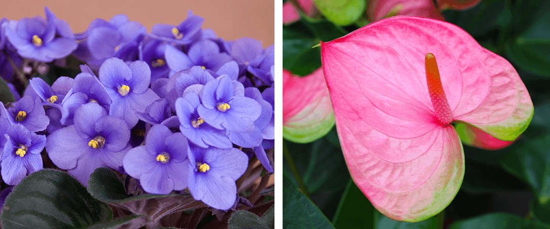 african violet and anthurium