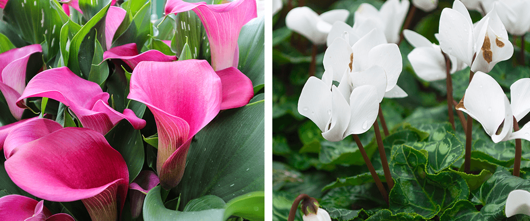 calla lily and cyclamen