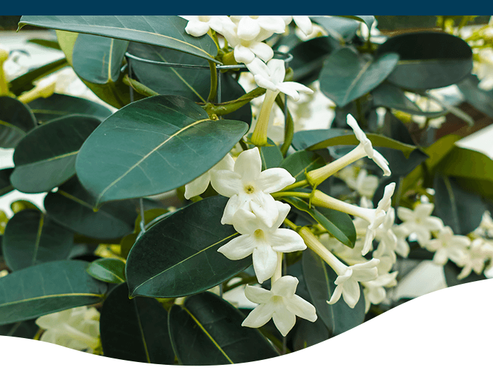 jasmine plant blooming in white