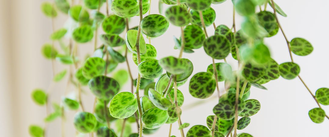 peperomia prostrata houseplant