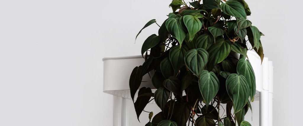 philodendron micans houseplant