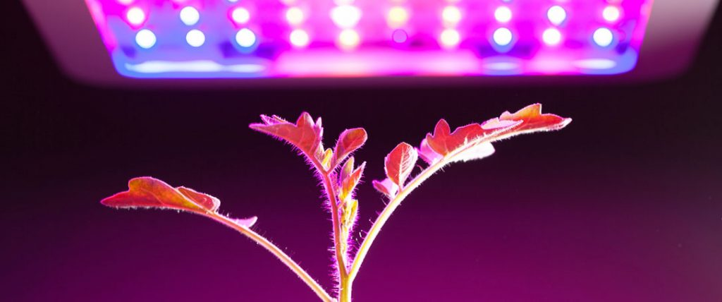tomato plant under grow light