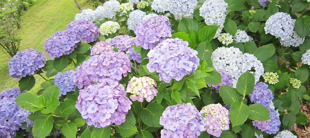 blue hydrangea in garden