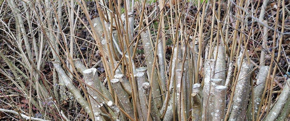 rejuvination pruning technique