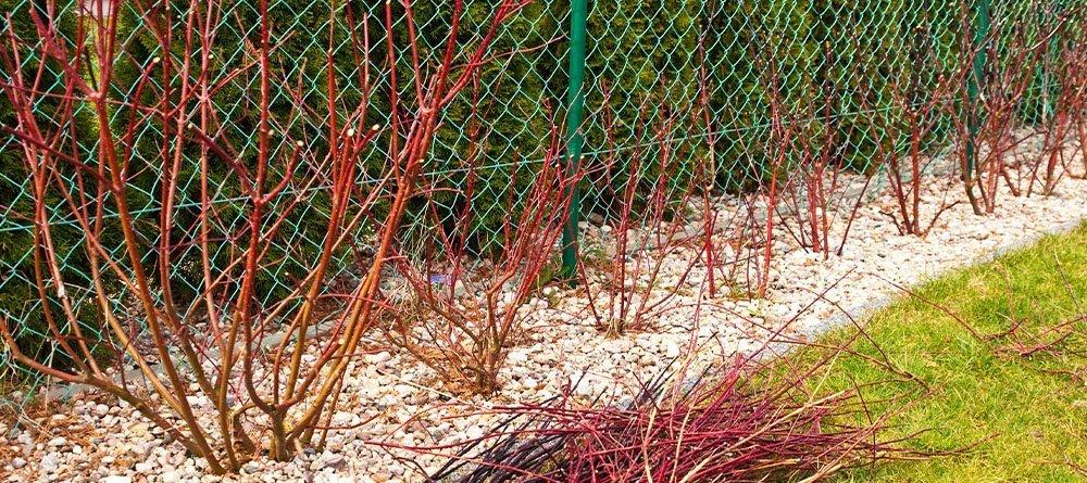pruned back dogwood in spring